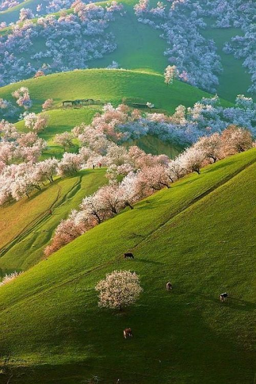 handa:  Spring Apricot Blossoms, Shinjang, China.  photo via joys