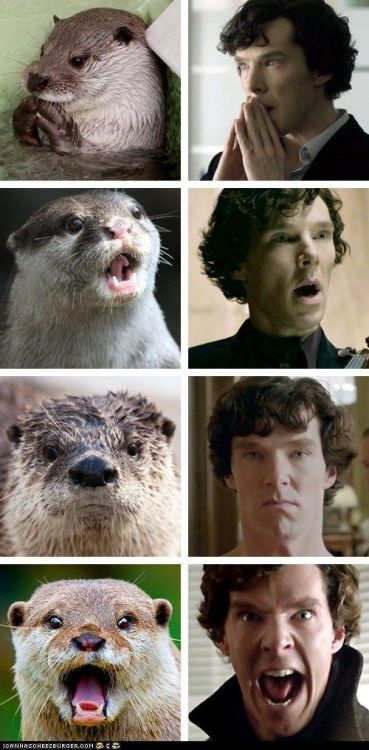 thedauntlessdovahkiin:  Benedict Cumberbatch and Otters I bloody love Sherlock!!! And, you know what, he actually does look a bit like an otter sometimes, or, wait… does he look like the otters or do they look like him??? Hmmm… I wonder… :D (via: http://iwastesomuchtime.com/on/?i=32344)