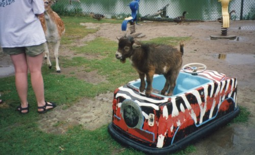 Goat on a bumper-car.  Be safe goat, no one needs to get hurt.