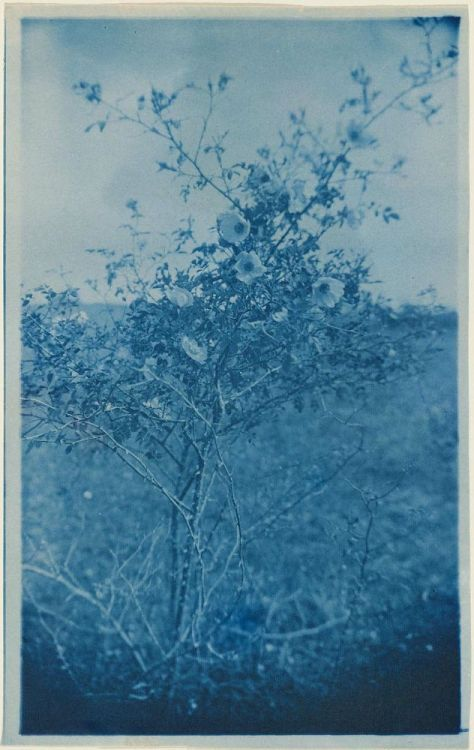 "yama-bato:  ""Sweetbriar"" (variant) about 1900 Arthur Wesley Dow  Sheet: 20 x 12.5 cm (7 7/8 x 4 15/16 in.)  Photograph, cyanotype  Classification: Photographs Museum of Fine Arts, Boston"