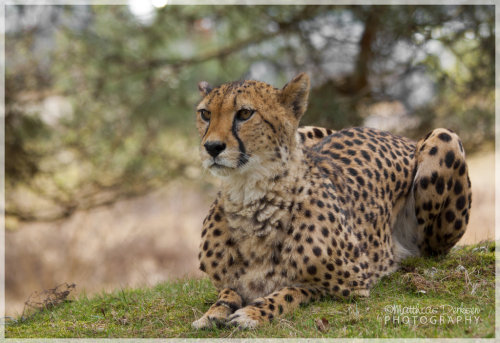 The Cheetah by =MattNick