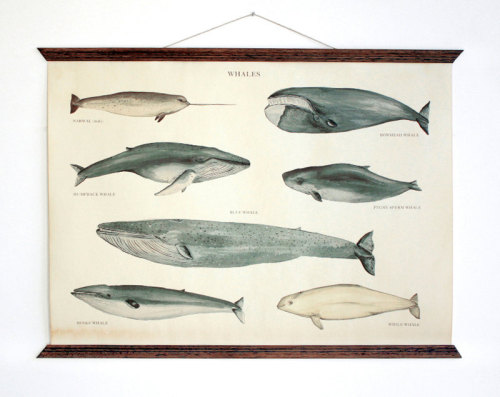 Whales - vintage educational chart illustration