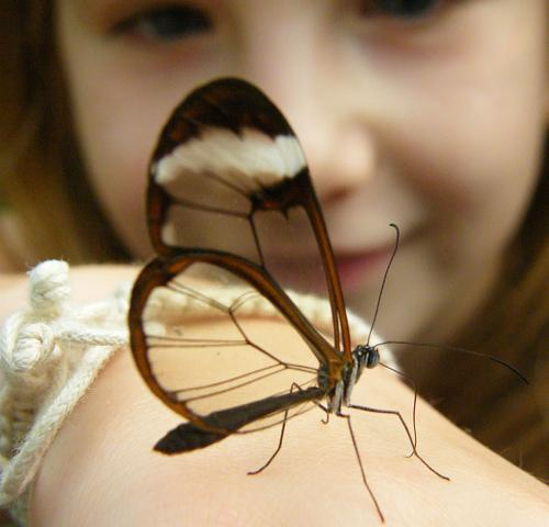 "This butterfly with transparent wings has a Spanish name, ""espejitos,"" which means ""little mirrors."" If it wasn't for the opaque outline around the wings, the average observer might not see one perched on a leaf or flower.   Adult glasswing butterflies will often migrate great distances, and males of the species are known to lek, or gather in large groups for the purpose of competitive mating displays."