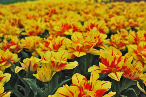 orange&yellow tulips on Flickr.