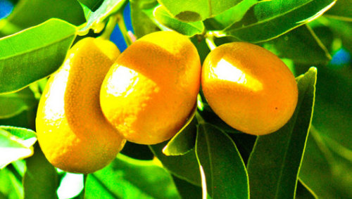 Deadly citrus blight arrives in CaliforniaThe citrus disease known as HLB has caused billions of dollars in damage in Florida since 2005.