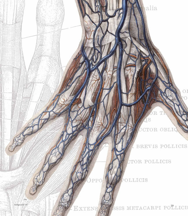 pookascrayon:  Hand - circulatory system Arms - musculature and circulatory system Hand - connective tissues The human heart Under the skin - the skull Arms, hands, and shoulders