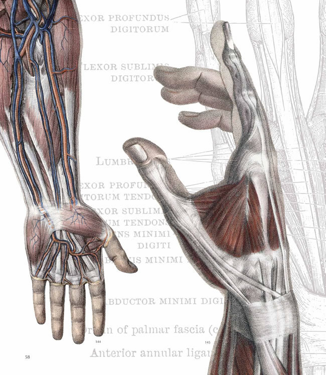 pookascrayon:  Arms - musculature and circulatory system Hand - connective tissues The human heart Hand - circulatory system Under the skin - the skull Arms, hands, and shoulders