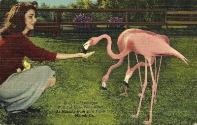 oldflorida:  Wake up and feed the Flamingos.