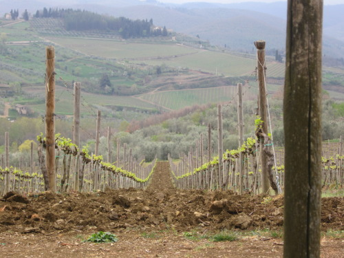 a Chianti wine vineyard