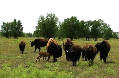 Caprock Canyon welcomes baby bison! Check out their fb for precious calf pics: http://www.facebook.com/Caprock.Canyons flatlander40