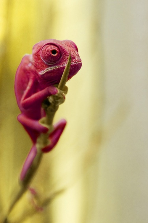 magicalnaturetour:  Veiled Chameleon by Michael Molthagen on Flickr. :)