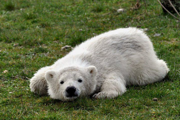 Siku practicing his cute face for the opening of the Skandinavisk Dyrepark on April 28th. Siku Live Cam.