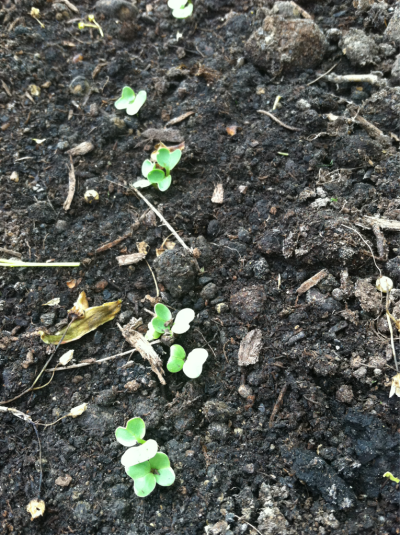 Radish sprouts. They've grown since this morning.