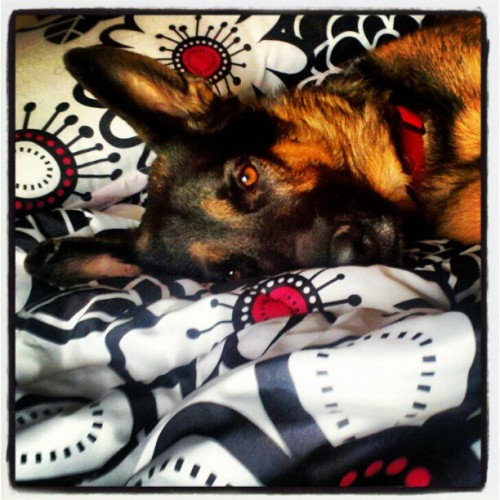 My love. #germanshepherd #thebest #perfect #precious #mybby  (Taken with instagram)