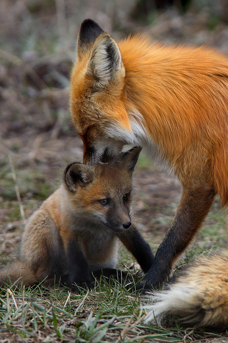 Red Foxes are adorable!
