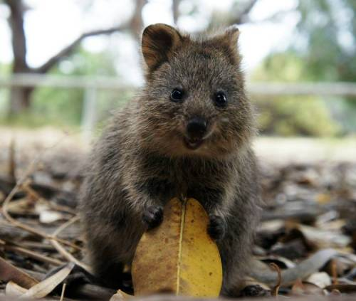 Quokka,a small marsupial animal with a similar appearance to a wallaby or kangaroo. via:cutestuff