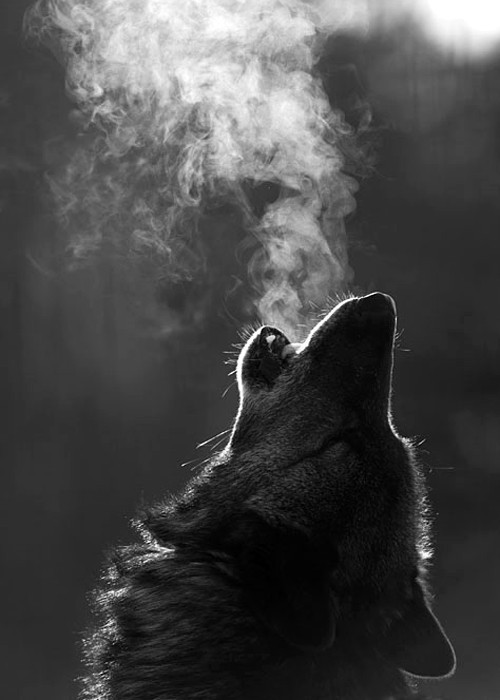 "beauty-thats-blind:  Took a test a found out my 'Spirit animal' is a wolf. I'm more than pleased.  Powers: Stealth, hunting ability, enhanced senses of smell and hearing, as well as strength and stamina ""Family comes first"" could be a Wolf's motto. You form deep connections with close friends and family members, and they know you'd do anything to protect them. You're loyal, devoted, and passionate. Your worst fear is being alone, but be careful not to drown your loved ones in too much emotion.   My spirit animal is a wolf too; embrace that strength."