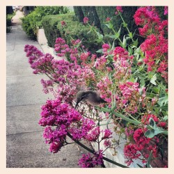 . hummingbird on our evening walk . #california #losangeles #hummingbird #bird #flower #spring (Taken with instagram)