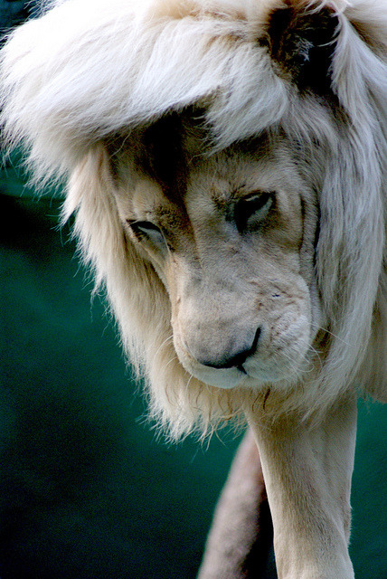 easyriderr:  lion has scene hair#shwag