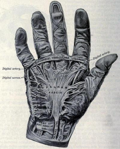 Fascia of the Palm Below the dermis of the palm, there is a significant and tougher-than-average layer of fascia (connective tissue) that serves primarily as a protector to the underlying muscles. Despite the keratinized layer of epidermis on the palms, additional reinforcement is needed for general protection of the muscles in the area. On the back of the hands, the fascia is still significant, but not as tough as the palm. Anatomy: Descriptive and Surgical. Henry Gray, 1858.