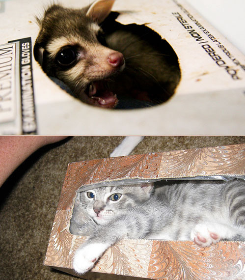 Who is the cuter box snuggler? Possum OR Cat?  Possum Image (mechanical_mandelbrot) Cat Image (hotash)
