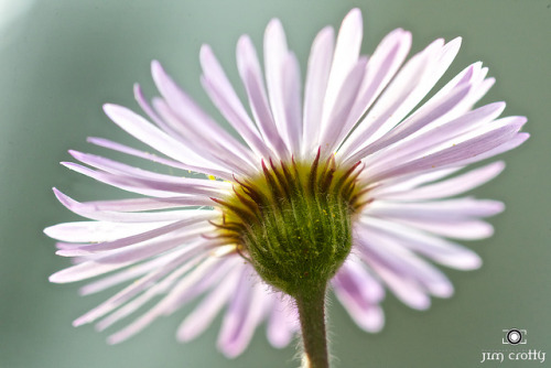 Back of Fleabane Wildflower by Jim Crotty on Flickr.Appalachian Spring. Back of Fleabane wildflower in Great Smoky Mountains National Park.