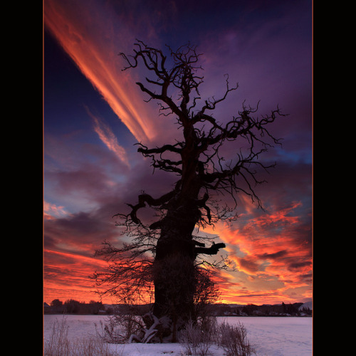 cold-moonlight:  The Cromwell Tree @ Dawn by angus clyne on Flickr.