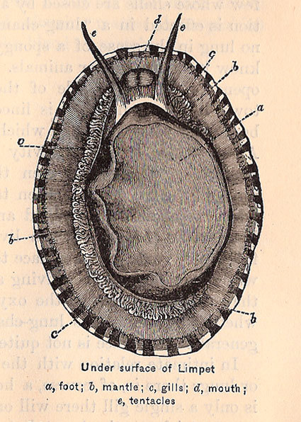 rrosehobart:  Limpet, from Shell Life: An Introduction to the British Mollusca by Edward Step : fedbybirds.com
