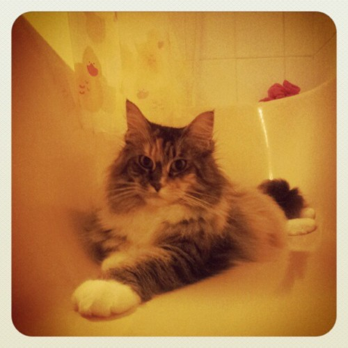Marmalade in the bath #cat #mainecoon #kitty #myrtleandmarmalade #bath  (Taken with instagram)