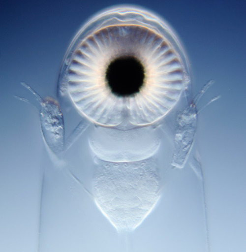 The eye of a water flea. There is so much life on this planet that is just as alien to us as anything we could find in space.