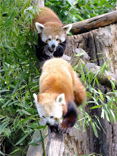 worldlyanimals:  Red Panda Couple Pali and Lushui by Adele Claire on Flickr.