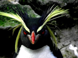 "whispers-of-the-wild:  ""Why, hello there"" - Rockhopper Penguin Photo by: Me (whispers-of-the-wild)  Click for more nature!"