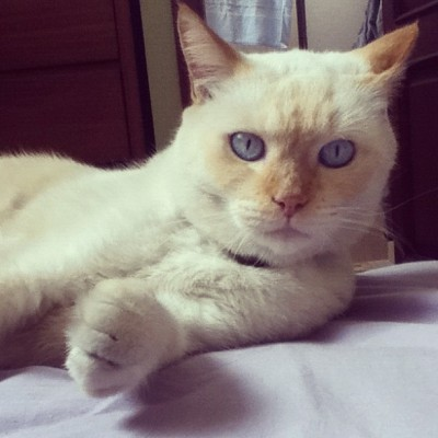 Mino's blue eyes #cute #cat #gato #pets #handsome #kitty #blueeyed #surprised #funny #shocked #surprised