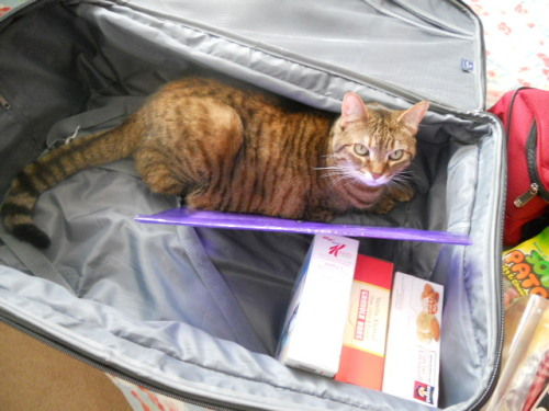 get out of there cat. you are not luggage. i'm not going to take you to disneyland. you are going to get fur all over my stuff.