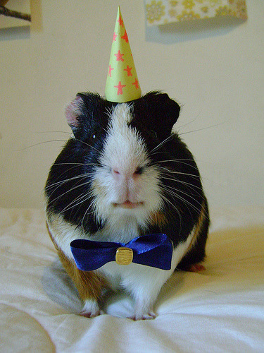 petsatbirthdays:  HAPPY BIRTHDAY, MAXAMILLIONO!