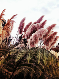 pourlinstant:  Pampas Grass