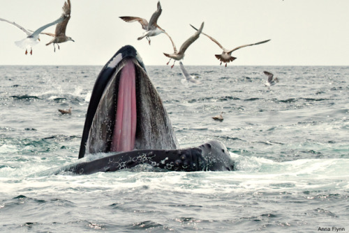 A Humpback Whale surfaces while feeding in Cape Cod Bay, MA, USA. (via: NWF)       (Photo: Anna Flynn)