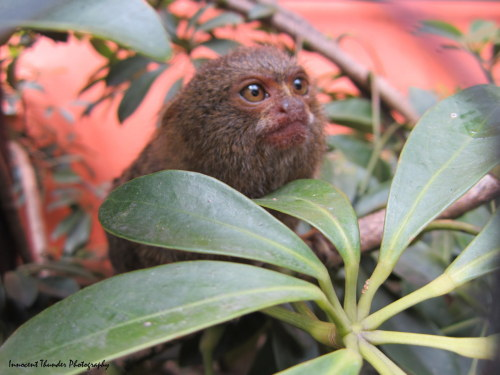 innocentthunderphotography:  Inquisitive Pygmy