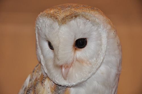 llbwwb:  Barn Owl (by mick54mick)