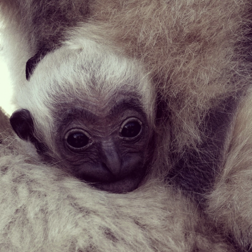 Born March 31st; Nate is our newest White-cheeked gibbon.