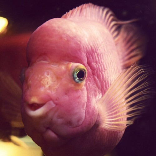 #smiling #fish #red #magenta #aquarium #brannan (Taken with instagram)