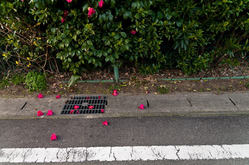 Fallen camellias at the roadside