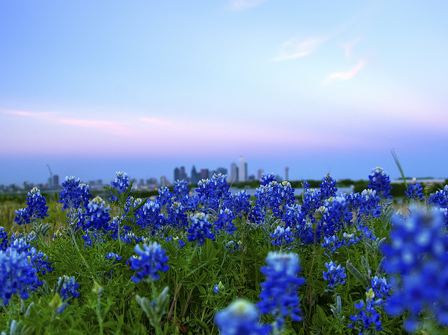 neighborhoodr-dallas: Hello bluebonnets and the Dallas skyline. My favourite season in Texas.