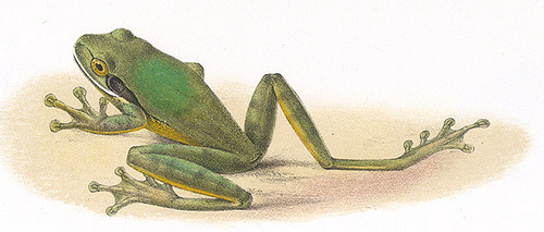smithsonianlibraries:  Another illustration for frog month! Hyla baudini by J. Green in Albert Günther's Biologia Centrali Americana, Reptilia and Batrachia, 1885-1902 [DETAIL] (by Smithsonian Libraries) see the entire plate and other images of frogs from this publication in the Biodiversity Heritage Library.