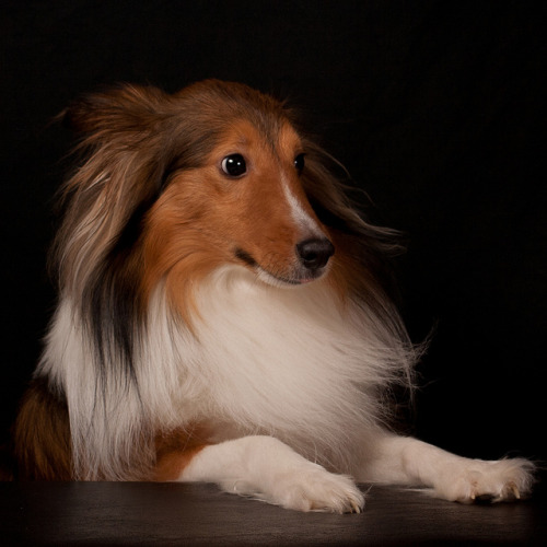 Looks like the hubby and I are going to be getting a Sheltie. How exciting! This isn't the one we're getting but this one's seriously looking like s/he's at Glamour Shots, eh?