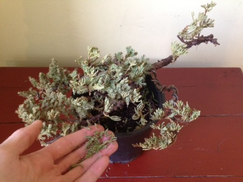 "as gently suggested by reader riyoyukai, my juniper is totally dead, and probably has been for a while. i'm guessing that it wasn't sheltered enough (at all) outside during winter, or maybe the wiring was too extreme. it got plenty of light, and i was very careful about watering. so it goes. RIP no-name juniper.  i should change the name of my tumblr to ""a bonsai is ritually slaughtered in brooklyn."""