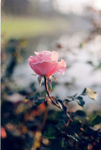 prettylittleflower:  Rose Saturday (by Khánh Hmoong)