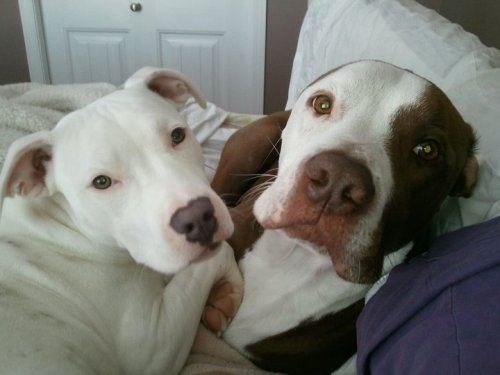 "factsonpitbulls:  My Babies!! ♥ submission from Candice  <3  <3….. my ""cuteness-ometer"" just blew up again!!!"