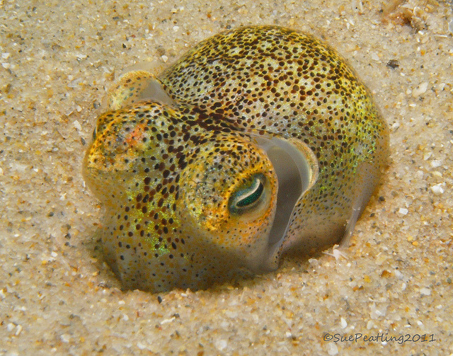 Dumpling squid by Fishtracker on Flickr.Squid hiding in the sand!