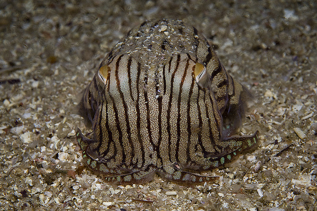 Lined Pyjama Squid - Jervis Bay by Rowland Cain on Flickr.